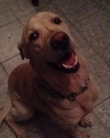 Cachorro Procurando Labrador O Meu Benavente Para