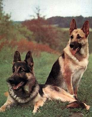 Sofhia Pastor Vista Para Alemão Minha Boa Procurando Cachorrinha