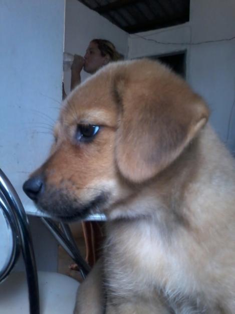 Aceta O Meu Benavente Cachorro Procurando Para Labrador